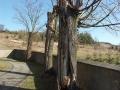 [011] Wycinka starych drzew na cmentarzu wokół kościoła (09.03.2015) (1)